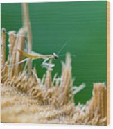 Millimetric Mantis Wood Print by Cesar Marino