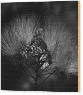 Mimosa Flowers Wood Print