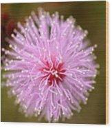 Mimosa Pudica Flower Wood Print