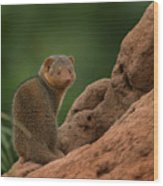 Mini Mongoose Wood Print by Joseph G Holland
