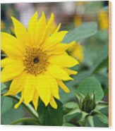 Mini Sunflower And Bud Wood Print