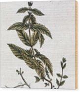 Mint Plant, 1735 Wood Print