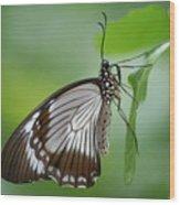 Mocker Swallowtail Wood Print