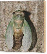 Molting Cicada #2 Wood Print