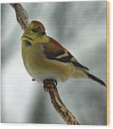 Molting In January? - American Goldfinch Wood Print
