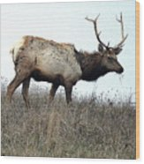 Molting Tomales Bay Elk Wood Print
