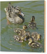 Momma Duck With Babies Wood Print