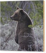Momma Grizzly And Cubs Wood Print