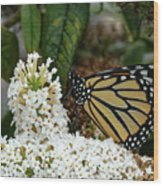 Monarch And The Butterfly Bush  Wood Print