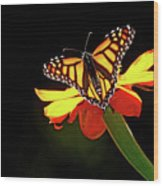 Monarch And Tithonia Light And Shadow Wood Print