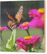 Monarch Approaching Zinnia 2 Wood Print