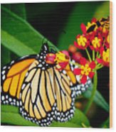 Monarch Butterfly At Lunch With 2 Box Elder Bugs Wood Print