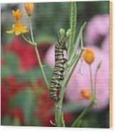 Monarch Butterfly Caterpillar Wood Print