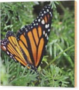 Monarch Butterfly In Lush Leaves Wood Print