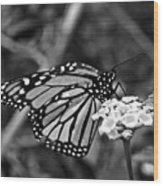 Monarch Butterfly. Wood Print