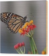 Monarch Butterfly On Milkweed Wood Print