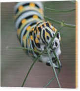 Monarch Caterpillar Clutches Dill In Pincers, Macro Wood Print