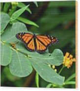 Monarch Butterfly Resting On Cassia Tree Leaf Wood Print