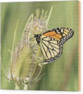 Monarch On A Thistle  Wood Print