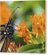 Monarch On Asclepias Wood Print