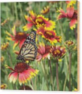 Monarch On Blanketflower Wood Print