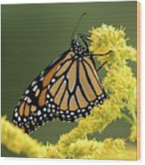 Monarch On Goldenrod Wood Print
