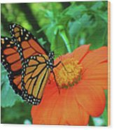 Monarch On Mexican Sunflower Wood Print