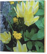 Monet's Fancy Tulips Wood Print by Kathy Yates