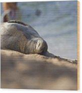 Monk Seal Basking. Wood Print
