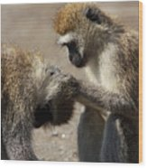 Monkeys Grooming Wood Print