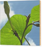 Moonflower Vine Bud To The Sky Wood Print