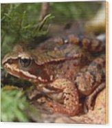 Moor Frog In September  Wood Print