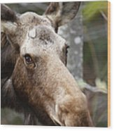 Moose - White Mountains New Hampshire Usa Wood Print