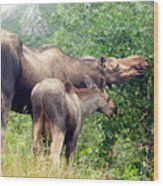 Moose And Calf Forage Wood Print