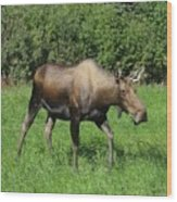 Moose Cow Grazing Wood Print