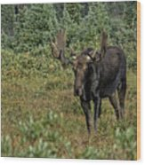 Moose In Shrubs Wood Print