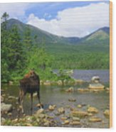 Moose Looking Back Sandy Stream Pond Wood Print