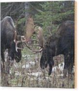 Moose. Males Fighting During The Rut Wood Print