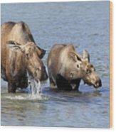 Moose Mama With Her Calf Wood Print