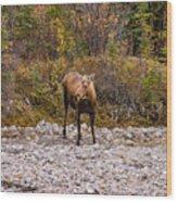 Moose Pawses In Mid-drink Wood Print