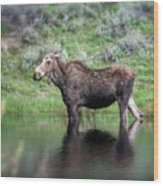 Moose Yellowstone Np_grk6918_05222018 Wood Print