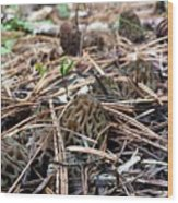 Morels A Plenty  Wood Print