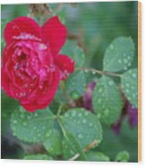 Morning Dew On A Rose Wood Print