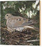 Morning Dove On Her Nest 2 Wood Print