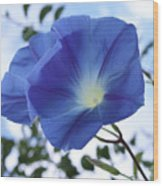 Morning Glory Delight Wood Print