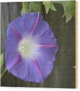 Morning Glory On Fence Wood Print