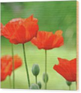 Morning Light Poppies Wood Print