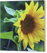 Morning Sunflower Wood Print