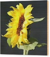 Morning Sunflower Wood Print