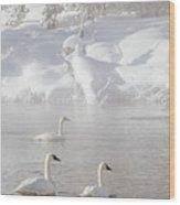 Morning Swan Trio  7845  Wood Print